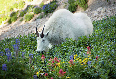 Photograph - Mountain Goat On Timp by Johnny Adolphson