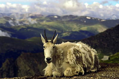 Mountain Goat Resting Art Print by Sally Weigand