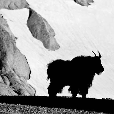 Photograph - Mountain Goat Shadow by Colleen Coccia