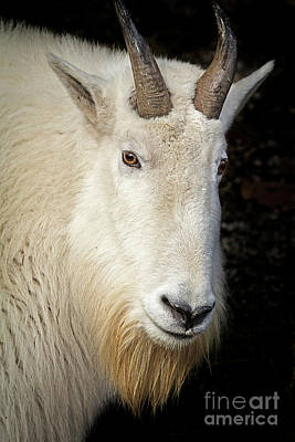 Photograph - Mountain Goat by Sonya Lang