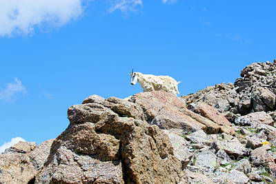 Photograph -  Mountain Goat Standing On Mount Massive Summit by Steve Krull