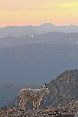 Art Print featuring the photograph Mountain Goat Sunset by Scott Mahon