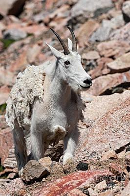 Photograph - Mountain Goat by Tibor Vari