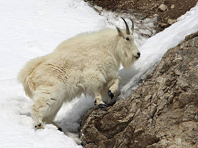 Photograph - Mountain Goat With Grace by DeeLon Merritt