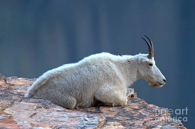 Photograph - Mountain Goat Zen by Adam Jewell
