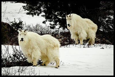 Mountain Goat Photograph - Mountain Goats by Greg Norrell