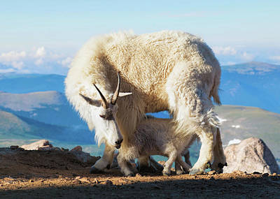 Digital Art - Mountain Goats Nanny And Kid by Lena  Owens OLena Art