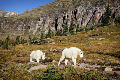 Photograph - Mountain Goats On Logan Pass Trail by Carolyn Derstine