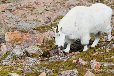 Steven Krull Royalty-Free and Rights-Managed Images - Mountain Goats on Mount Bierstadt in the Arapahoe National Fores by Steven Krull