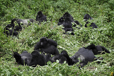 Photograph - Mountain Gorilla Group Chilling by IPics Photography