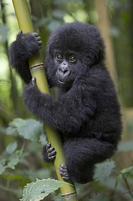 Photograph - Mountain Gorilla Infant Rwanda by Suzi Eszterhas