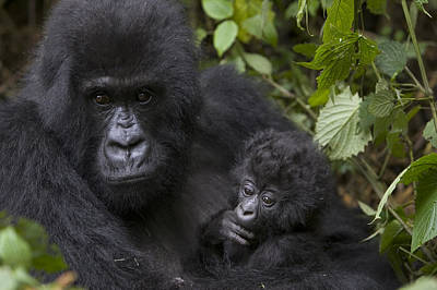 Digital Enhancement Photograph - Mountain Gorilla Mother Holding 3 Month by Suzi Eszterhas
