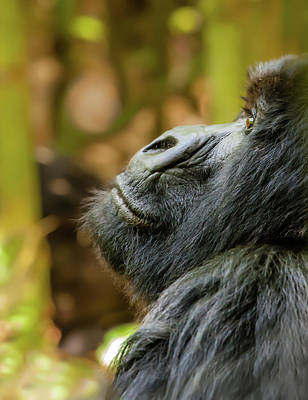 Photograph - Mountain Gorilla Pondering by Mark Coran
