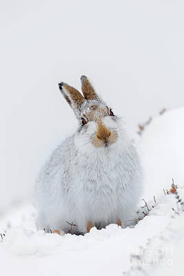 Photograph - Mountain Hare In Scotland by Arterra Picture Library