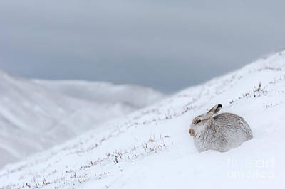 Photograph - Mountain Hare In Snowstorm by Arterra Picture Library