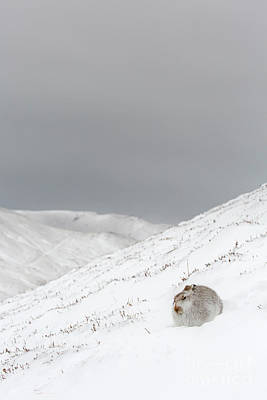 Photograph - Mountain Hare In The Highlands by Arterra Picture Library