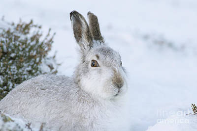 Photograph - Mountain Hare - Scottish Highlands  #5 by Karen Van Der Zijden