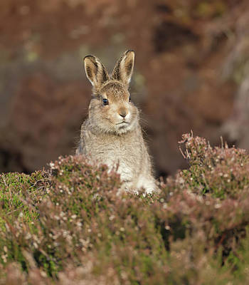 Photograph - Mountain Hare Leveret by Peter Walkden