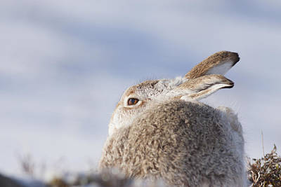 Photograph - Mountain Hare - Scottish Highlands  #10 by Karen Van Der Zijden
