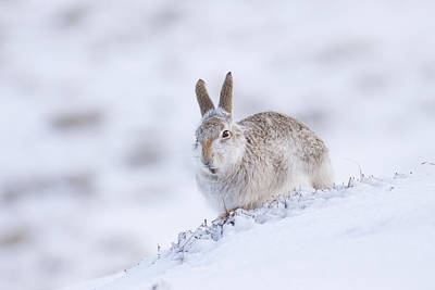 Photograph - Mountain Hare - Scottish Highlands  #11 by Karen Van Der Zijden