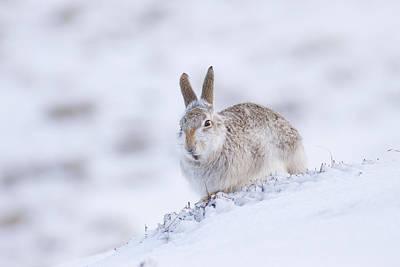 Photograph - Mountain Hare - Scottish Highlands  #11 by Karen Van Der Zijden