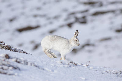 Photograph - Mountain Hare - Scottish Highlands  #12 by Karen Van Der Zijden
