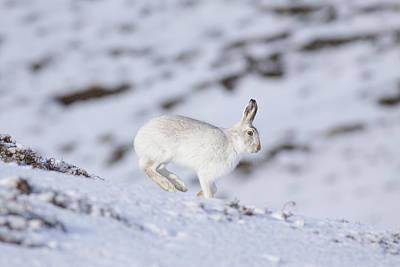 Mountain Hare - Scottish Highlands  #12 Art Print