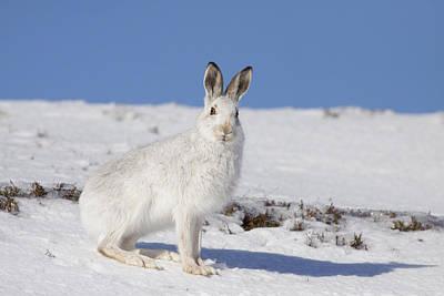 Photograph - Mountain Hare - Scottish Highlands  #9 by Karen Van Der Zijden