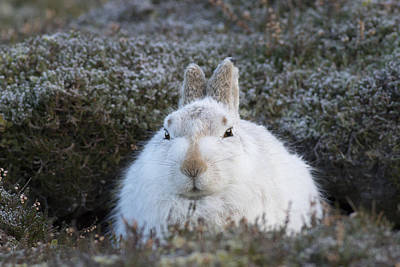 Photograph - Mountain Hare - Scottish Highlands  #4 by Karen Van Der Zijden