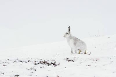 Mountain Hare Side On Art Print