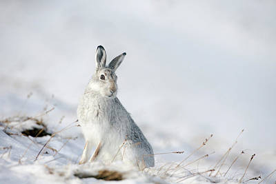 Mountain Hare Sitting In Snow Art Print