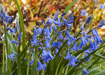 Photograph - Mountain Hyacinths by Chuck Flewelling