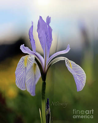 Photograph - Mountain Iris With Bud by Natalie Dowty