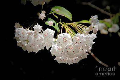 Photograph - Mountain Laurel by Allen Nice-Webb