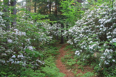 Photograph - Mountain Laurel And Forest Trail by John Burk