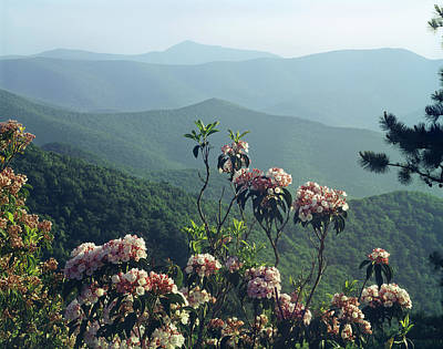 Photograph - 143413-mountain Laurel At Brown Mountain Overlook  by Ed  Cooper Photography