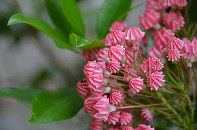 Photograph - Mountain Laurel Buds by Carla Parris