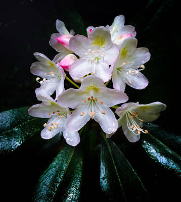 Mountain Laurel Photograph - Mountain Laurel - Color by Kathryn  Stivers