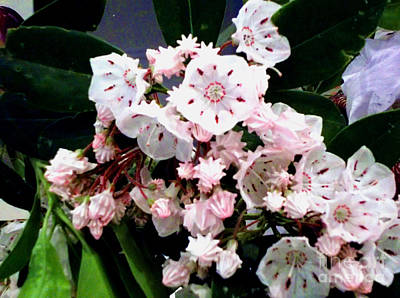 Mountain Laurel  Art Print by Donna Dixon