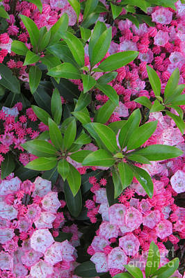Photograph - Mountain Laurel by Frank Townsley