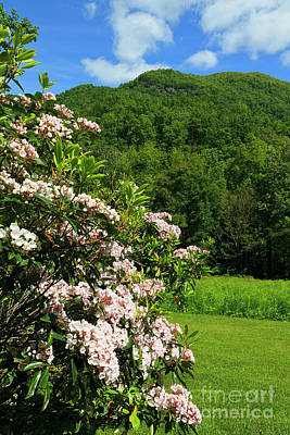 Photograph - Mountain Laurel In North Carolina by Jill Lang