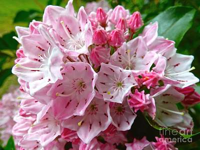 Photograph - Mountain Laurel by Jean Wright