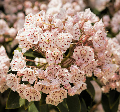 Photograph - Mountain Laurel - Kalmia Latifolia by Kristia Adams
