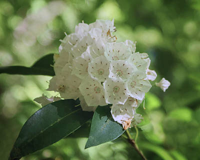 Photograph - Mountain Laurel - Spring by Nikolyn McDonald