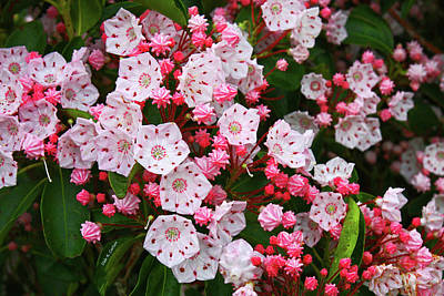 Photograph - Mountain Laurels by Dale R Carlson