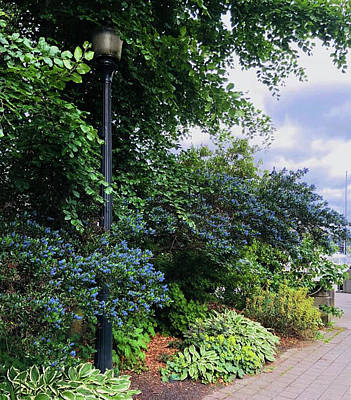 Painting - Mountain Lilacs Or Ceanothus Growing Along The Seawall In Vancouver Canada  by Jacki Kellum