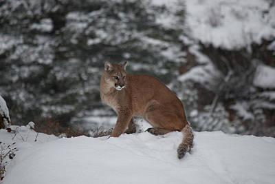 Photograph - Mountain Lion 7447 by Teresa Wilson