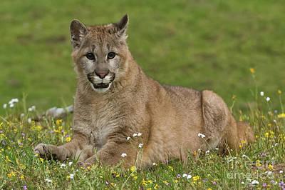 Photograph - Mountain Lion Cub by Tibor Vari