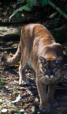 Photograph - Mountain Lion by Douglas Barnett