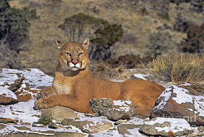 Photograph - Mountain Lion Felis Concolor Captive by Dave Welling
